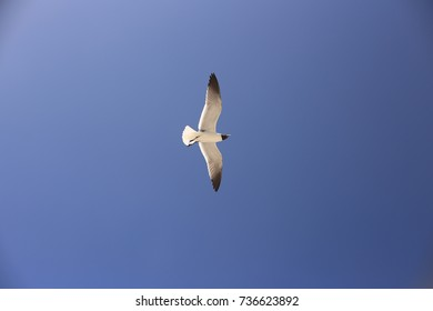 Black-headed Sea Gull flying in blue sky.