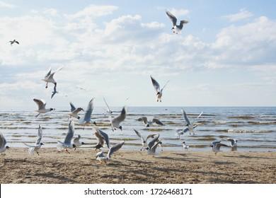 Black-headed seagulls fly over a sandy beach by the sea. Jurmala, Riga.