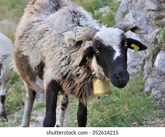 black-headed sheep with bell neck in mountain
