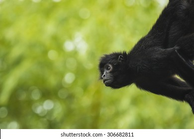 Black-headed spider monkey hangs on a tree, looking to the side.