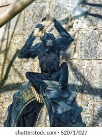 Black-headed spider monkey in Zoo in the citadel in Besancon, Bourgogne Franche Comte region of France.