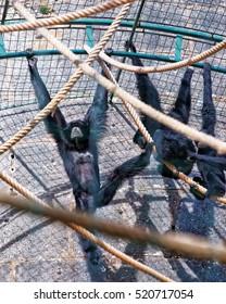 Black-headed spider monkey in Zoo in the citadel in Besancon, Bourgogne Franche Comte region in France.