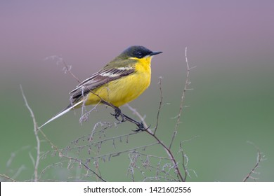 Black-headed Wagtail (Motacilla feldegg). Ukraine