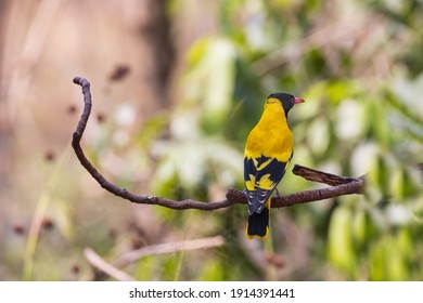 Black-hooded Oriole (Oriolus xanthornus), beautiful yellow bird perch on tree in Thailand.