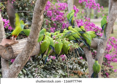Blackhooded parakeets feeding on manioc flower in an ecotourism hotel in the Brazilian Pantanal
