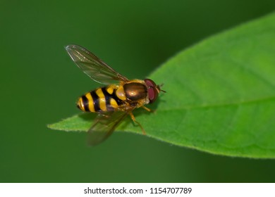 Black-horned Smoothtail Fly resting on a leaf. Rouge National Urban Park, Toronto, Ontario, Canada.