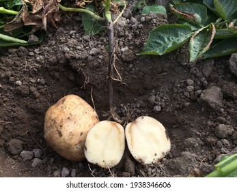 Blackleg of potato. Disease is caused by bacteria in the genera Pectobacterium and Dickeya. They also cause soft rot of tubers.