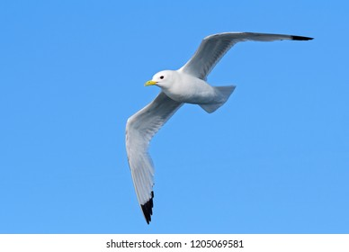 Black-legged Kittiwake - Rissa tridactyla, beautiful gull in flight, Shetlands, Scotland, United Kingdome.