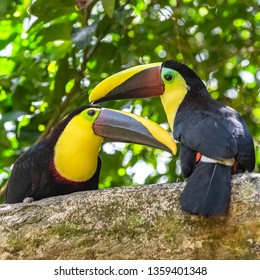 black-mandibled toucan, Ramphastos ambiguus swainsonii, colorful bird with the beak open, with its clearly visible tongue, in Costa Rica