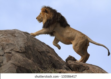 Black-maned lion climbing on top of a boulder with a blue-background sky
