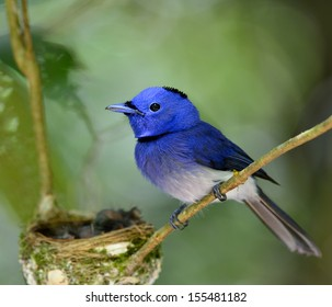 Black-naped Blue Flycatcher or blue flycather, a beautiful blue bird with feathers detials, keep watching its chicks in the nest