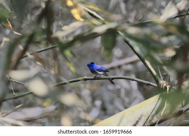 black-naped monarch or black-naped blue flycatcher (hypothymis azurea) in the  countryside of west bengal in india