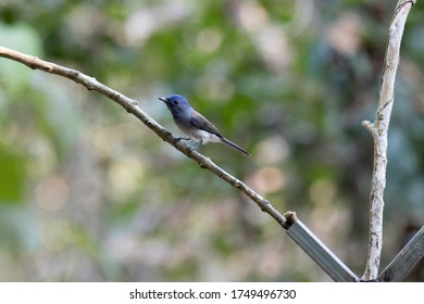 The black-naped monarch or black-naped blue flycatcher , Hypothymis azurea, female, India