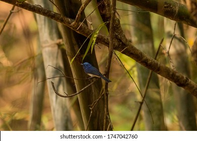 Black-naped Monarch (Hypothemis azurea) perching on a branch in Thailand