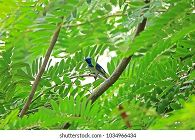 Black-naped Monarch on branch in nature