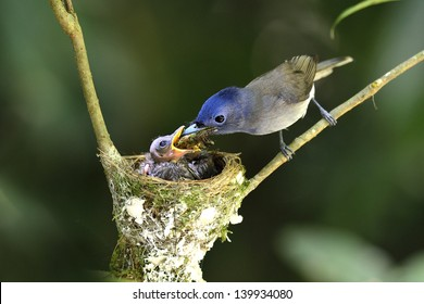 Black-naped Monarch or socalled black-naped blue flycatcher, hypothymis azurea, asian paradise flycatcher, guarding its chicks in their nest in the feeding hot day
