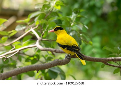 Black-naped oriole, The black-naped oriole is a bird of the oriole family and is found in many parts of Asia.