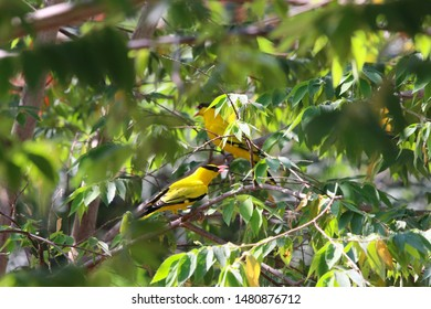 Black-naped Oriole colorful in the park wildlife animal