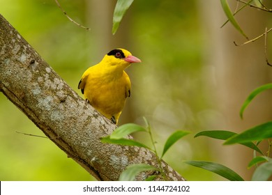 Black-naped oriole - Oriolus chinensis passerine bird in the oriole family that is found in many parts of Asia - 