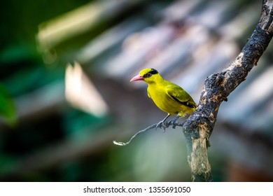 The black-naped oriole (Oriolus chinensis) is a passerine bird in the oriole family that is found in many parts of Asia. Green yellow bird on the tree