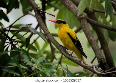 The black-naped oriole (Oriolus chinensis) is a passerine bird in the oriole family that is found in many parts of Asia.