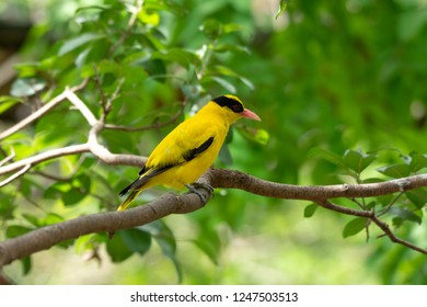 BLACK-NAPED ORIOLE in public park