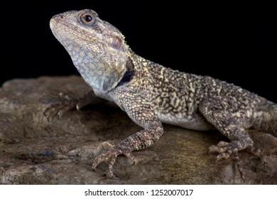 Black-necked agama (Acanthocercus atricollis)