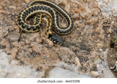 A black-necked garter snake from southeastern New Mexico.