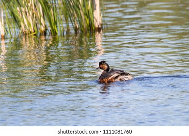 Black-necked grebe with chick on water. Cute bright waterbird. Bird in wildlife.