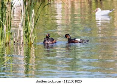 Black-necked grebe family on water. Cute bright waterbird. Bird in wildlife.