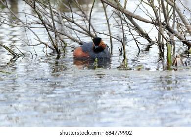 Black-necked Grebe (Podiceps nigricollis, Podiceps caspicus). Moscow region, Russia