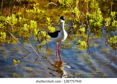 Black-necked stilt wading in Maui, Hawaii.