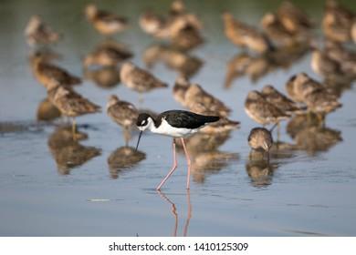 Black-necked Stilt wading through shallow water