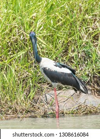 Black-necked stork wading by the Corroboree Billabong's natural wetland grasses by the water's edge in the Northern Territory of Australia