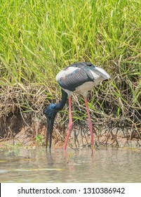Black-necked stork wading and foraging in the water at the Corroboree Billabong's with natural wetland grasses in the Northern Territory of Australia