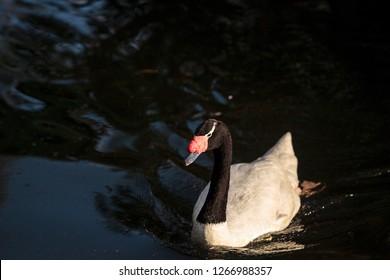 Black-necked swan Cygnus melancoryphus swims in a pond in South America.