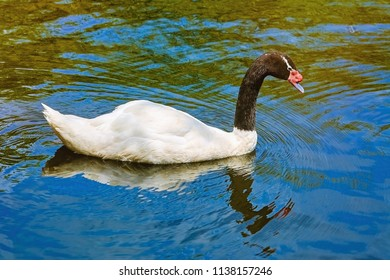 Black-necked Swan on the Lake