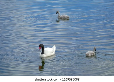 Black-necked swan with two cygnets, Puerto Natales, Patagonia, Chile