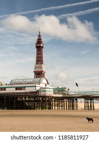 Blackpool, England, UK - August 1, 2015: A dog walks on the sand of Blackpool Beach, under the iconic Blackpool Tower and Blackpool North Pier on a summer day.