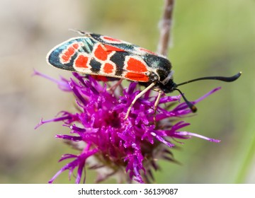 black-red butterfly on violet summer flower (close-up)