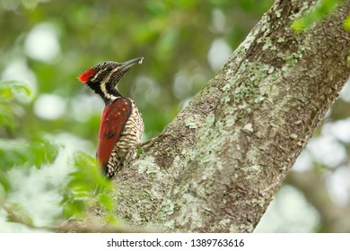 Black-rumped flameback (Dinopium benghalense), also known as the lesser golden-backed woodpecker or lesser goldenback, is a woodpecker found widely distributed in the Indian subcontinent
