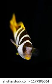 black-saddled coral grouper or saddle grouper (Plectropomus laevis)