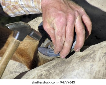 Blacksmith, or equine farrier, nails a horse shoe to a horse's hoof.