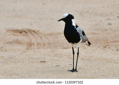 blacksmith lapwing bird,Kruger National park in South Africa
