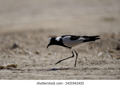 The blacksmith lapwing or blacksmith plover(Vanellus armatus) in Namíbia, Africa. The name derives from the repeated metallic 'tink, tink, tink' alarm call, which suggests a blacksmith's hammer strik.