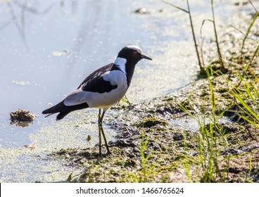 A Blacksmith Lapwing is standing near a waterhole at the Bwabwata Nationalpark at Namibia during summer