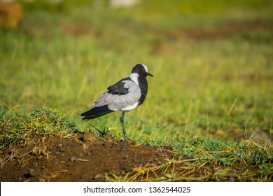 Blacksmith Plover bird
