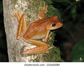 Blacksmith treefrog