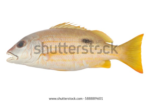 Black-spot snapper fish isolated on white background
