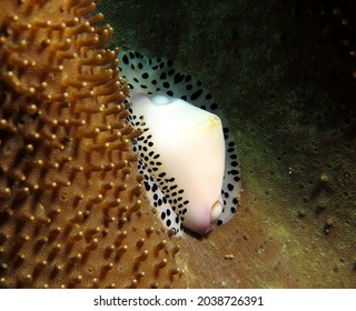 Black-spotted egg cowrie Boracay Island Philippines
